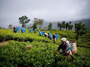 Herbaciane plantacje