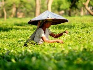 Herbaciane plantacje2