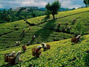 Herbaciane plantacje5