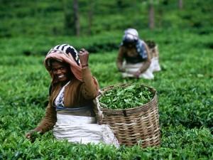 Herbaciane plantacje6