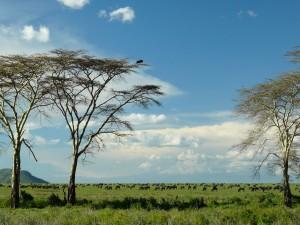 Legendarne Serengeti12
