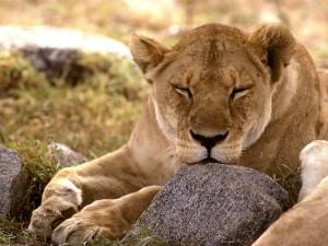Legendarne Serengeti2