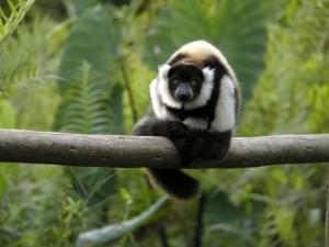 Lemury1