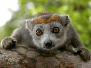 Lemury5
