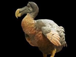 Ptak dodo1
