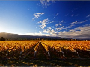 Winnice Central Otago5
